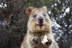 袋鼠吃樹葉竟吃出薯片感 天生自帶療癒系笑容
