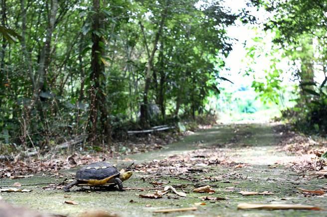 日月光攜手興大食蛇龜保育團隊,為台灣瀕臨絕種的食蛇龜找尋一條新生路。(日月光文教基金會提供/許昌平台北傳真)