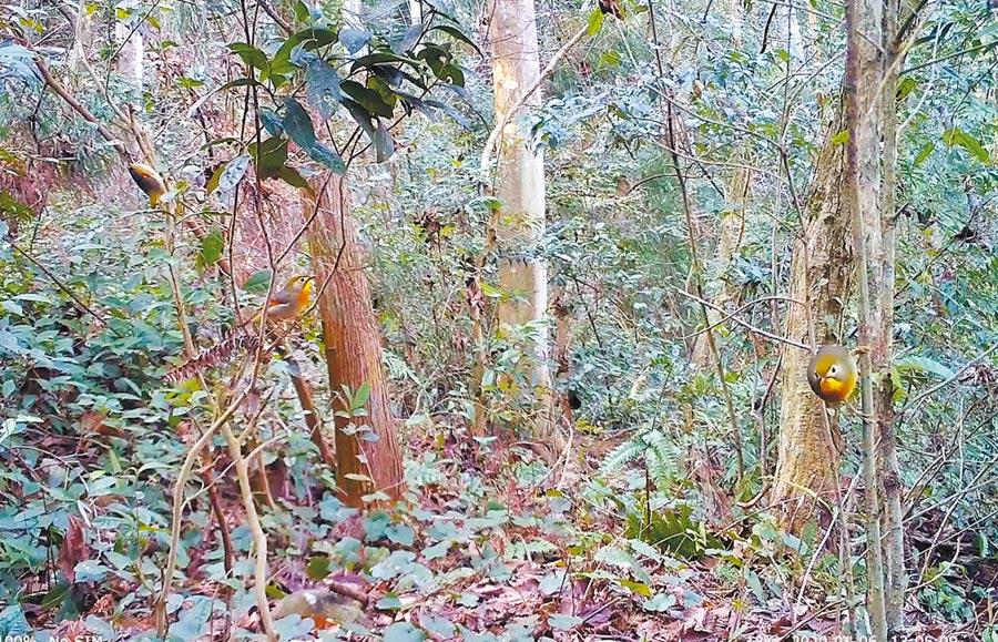 紅嘴相思鳥在叢林裡。(圖:許南平)