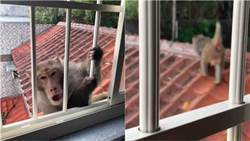 新店驚見猴群出沒!20隻兇猴爬民宅屋頂欲闖入