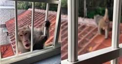 清晨新店猴群出沒 面目猙獰抓鐵窗想闖屋內