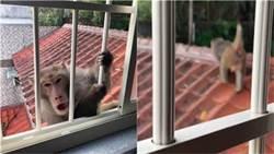 新店猴群出沒!大批潑猴攻堅民宅嚇壞屋主誤認是小偷