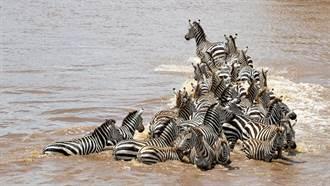 斑馬群渡河下秒慘遭鱷魚圍攻 血腥場面超震撼
