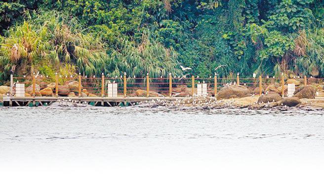 百餘隻鳳頭燕鷗現身基隆正濱漁港,形成獨特奇觀。(沈錦豐提供/吳康瑋基隆傳真)