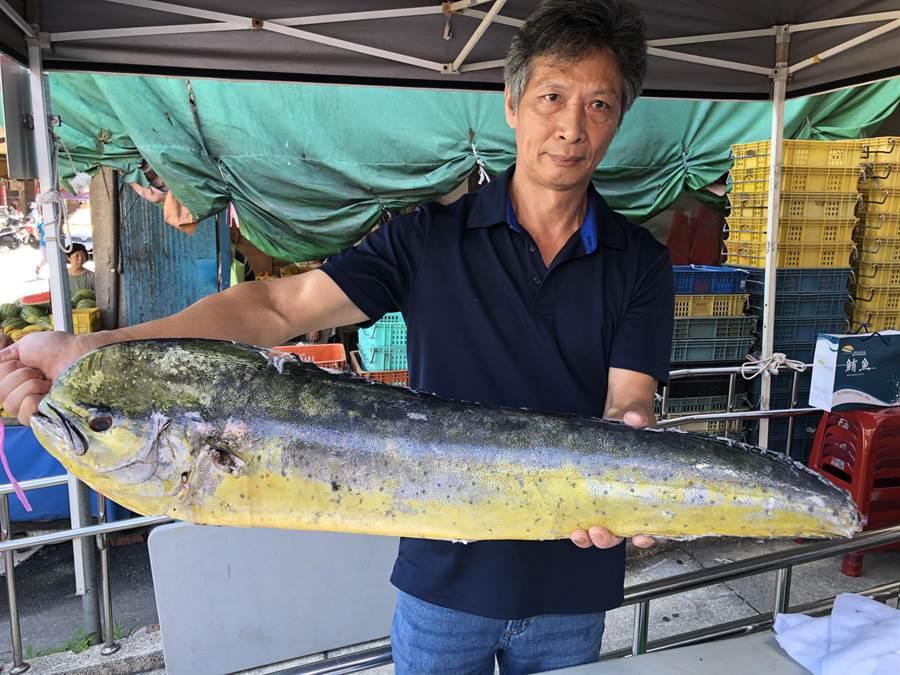 在李安電影〈少年PI的奇幻漂流〉亮相過的鬼頭刀,是小琉球的特色魚種。(李金生攝)