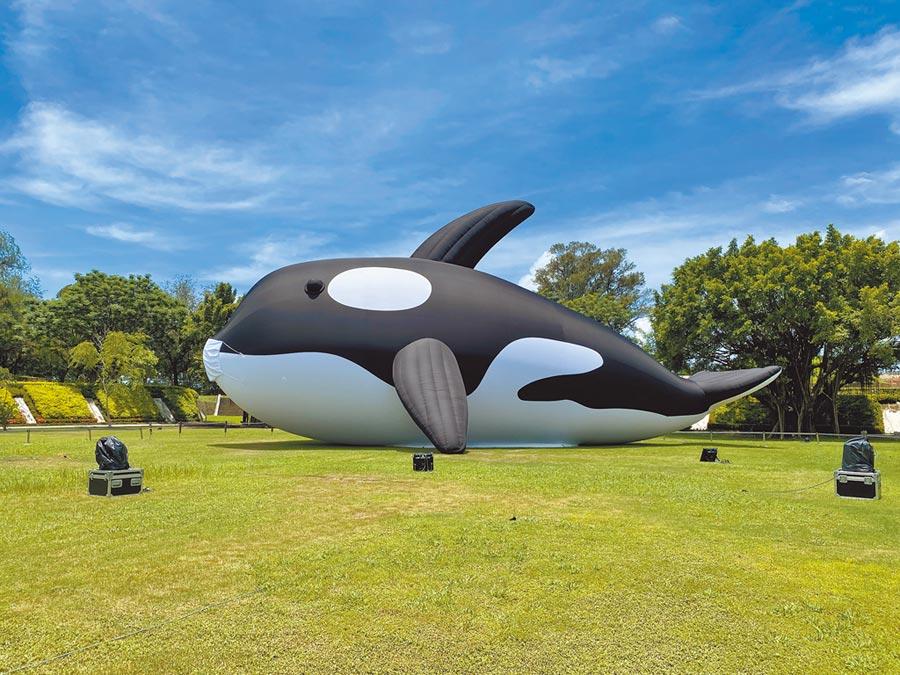 全球最大虎鯨「亮晶鯨」今天將由千人護鯨伴游下,抵達東興洋行前浮動碼頭進駐3個月。(曹婷婷攝)
