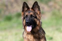 她託寵物店照顧德國牧羊犬 驚見「長蛆狗屍」爛到只剩毛