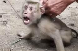 泰國遭揭濫捕野生猴逼工作!日摘1000顆椰子