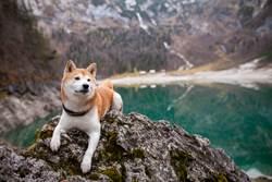 柴犬落入「萬丈深淵」驚險垂掛邊緣 網急:拍攝者不救?