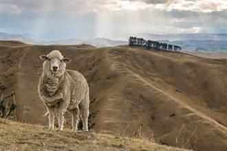 最狂綿羊逃離農場流浪7年 再現身竟出現驚人變化