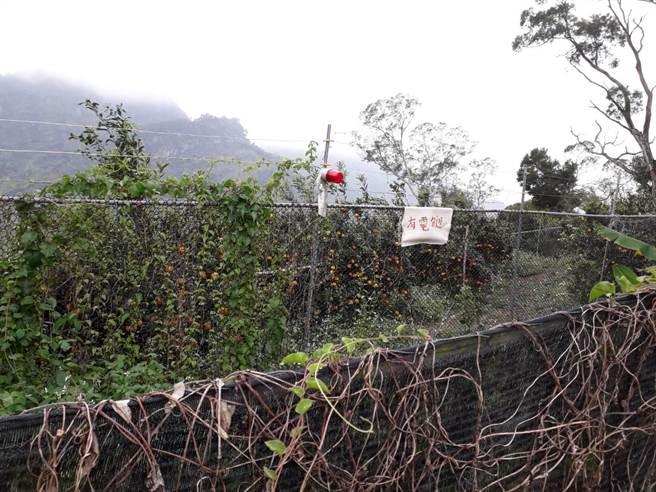 太平大湖桶枇杷專區猴害嚴重。(台中市議員張玉嬿提供)。