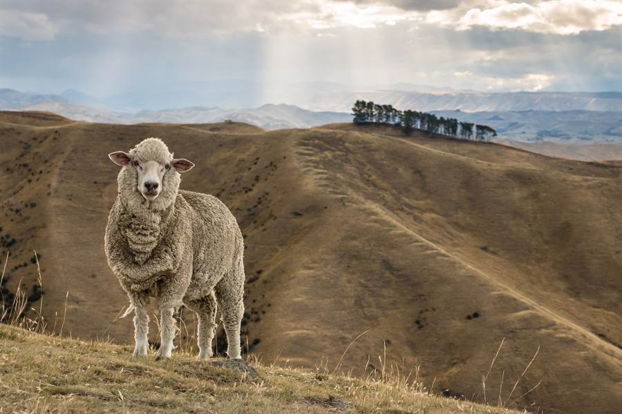 最狂綿羊逃離農場流浪7年 再現身竟出現驚人變化(示意圖/達志影像)