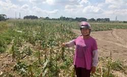 甜糯玉米價格差 台南新市農民開放自採