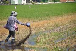 不燒稻草改撒分解菌 沒汙染還可增強地力