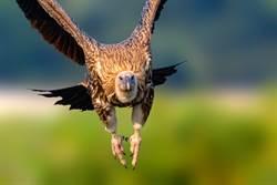 巨嘴鴨搭「空中便車」直接停在大型猛禽翅膀上 網驚:太有種了