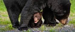 母熊帶5熊仔闖民宅後院 爽玩溜滑梯、盪鞦韆