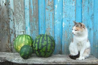 西瓜攤最派貓老闆 凶狠表情緊盯客:不買不准走!