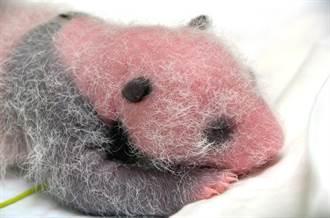 動物園嬰兒潮!貓熊幼仔出生半個月 水獺也生幼仔