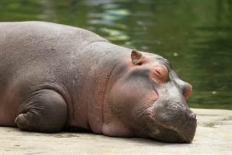 河馬水中沉睡鼻孔「狂噴泡泡」 逗趣模樣網全笑翻