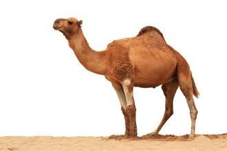 老駱駝被賣「勇走100公里」回家 滿身傷主人心疼:不賣了!