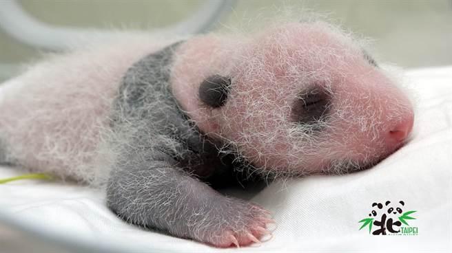 大貓熊圓仔妹妹出生15天,眼睛現出「黑眼圈」 超萌照曝光。(台北市立動物園提供)