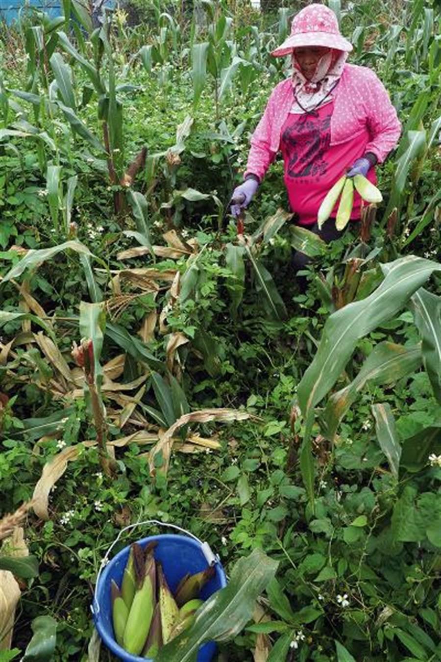 想吃玉米,直接到田裡去採,食物里程零公里。 (圖/林格立 台灣光華提供)
