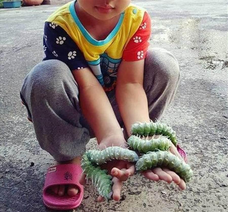發現是皇蛾的卵之後細心培育,養出超巨綠色「蠶寶寶」。(圖/原PO授權提供)