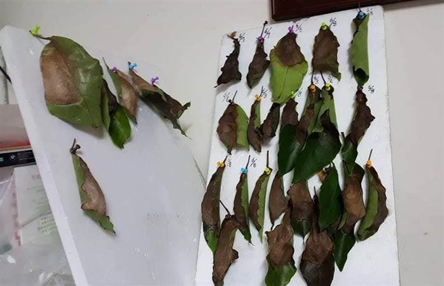 皇蛾結繭時會找樹葉包住自己。(圖/原PO授權提供)