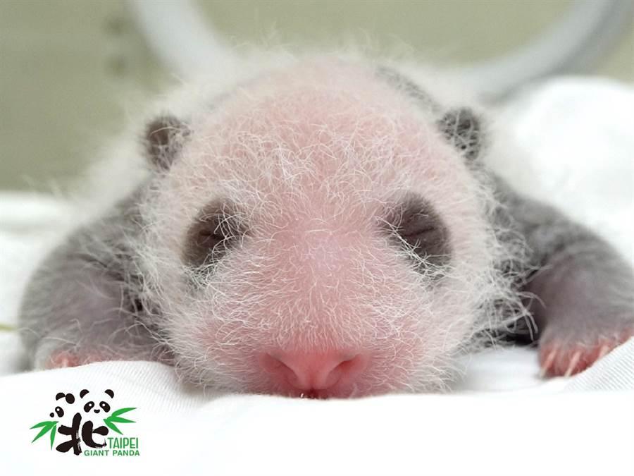 台北市立動物園貓熊圓仔的妹妹出生15天,2眼出現「黑眼圈」萌翻天。(台北市立動物園提供)