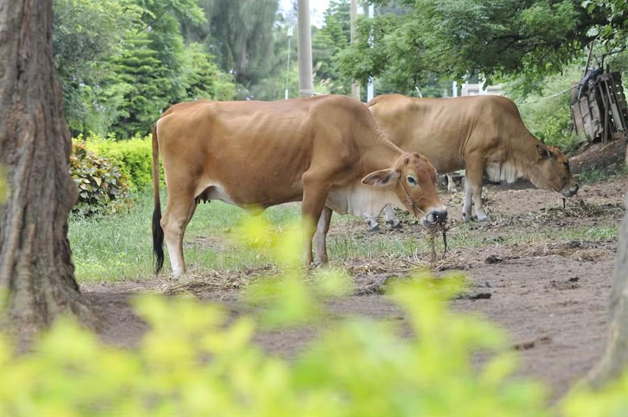 金門爆發「牛結節疹」疫情,中央將緊急採購疫苗1萬劑供全縣牛隻施打,未來只撲殺有明顯表徵的病牛。(李金生攝)