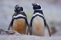 企鵝是「現代恐龍」?超殘暴遠古祖先曝光網嚇傻