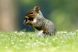 美松鼠感染鼠疫 當地官員:疫情正在升溫