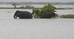 印度阿薩姆暴雨成災「至少50死」!國家公園淹沒洪水中「39隻動物遇難」