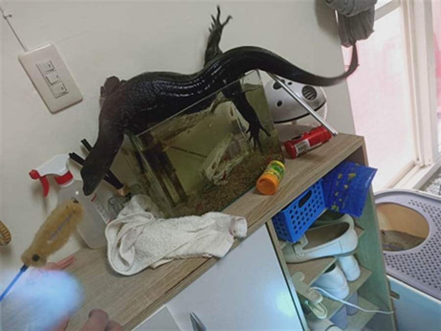 天氣太熱,讓黑澤巨蜥毆霸亂入魚缸玩水,讓主人超無奈。(圖/原PO授權提供)