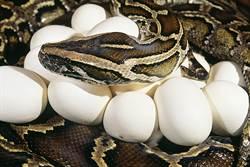 驚現3公尺巨蟒媽躲床上狂生20蛋 暴怒猛攻擊