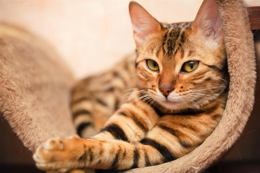 貓進動物園與豹面對面 反差萌反應融化萬名網友(示意圖/達志影像)