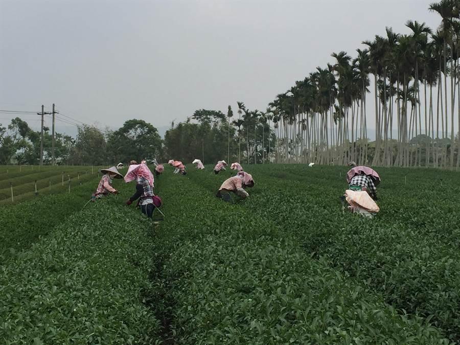 名間鄉茶園風光,採茶季節時,空氣中瀰漫茶香。(廖志晃攝)