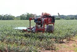 傳承百年傳統製茶手藝 苗栗辦茶農體驗工作坊