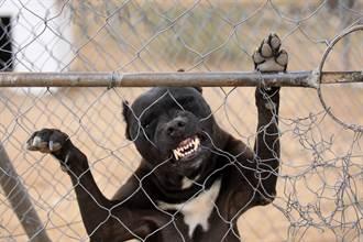 比特犬患病等被安樂死 2歲兒一句話媽感動領養