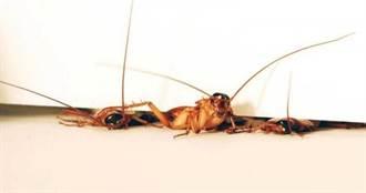 家中發現1隻蟑螂=角落隱藏一大群? 日本殺蟲專家經驗談