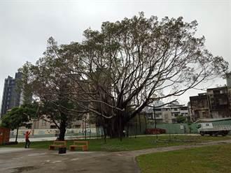 板橋放送所 老榕樹棲地改善