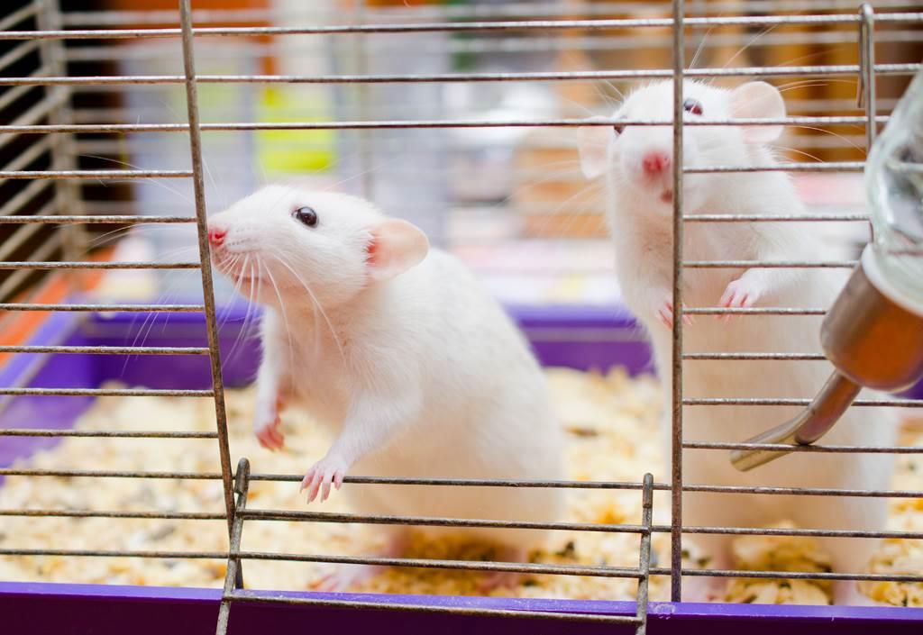 2隻老鼠當街互毆打詠春 路過貓咪目睹肅殺戰況看傻(示意圖/達志影像)