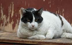 流浪胖貓診所前哀號不肯走 獸醫一看驚:太有靈性