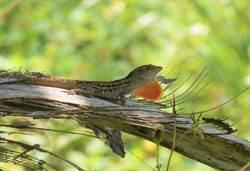 驚!沙氏變色蜥蜴蔓延快速 從花蓮七星潭拓展到10公里外東華大宿舍區