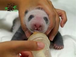 大貓熊二寶超萌哺乳 長得比圓仔快