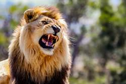 雄獅兇猛獵殺7頭黑斑羚 攝影師坐搖滾區全程目擊