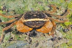驚喜恆春發現5新品種陸蟹