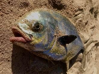 釣到人嘴厚唇魚!掀開驚見整排牙齒 釣客發毛