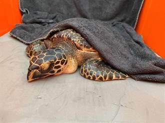 七股海龜受困漁網  海巡搶救安置海洋生物博物館