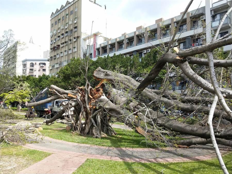 北區國民運動中心有7棵蓊鬱老樹群近年來染病、瀕死,甚至倒塌。(讀者提供/張妍溱台中傳真)